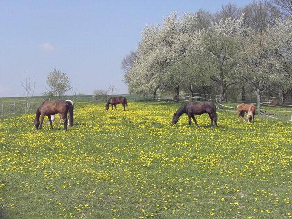 Pferdekoppel im Frühjahr