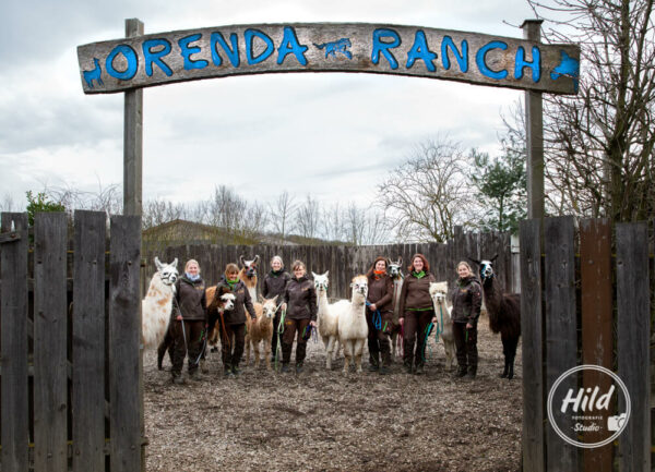 Alpakas und Lamas der Oernda-Ranch