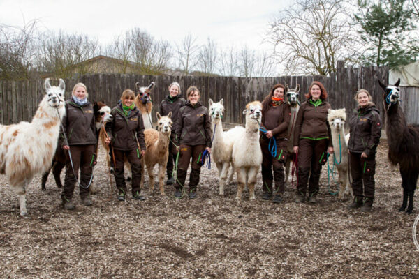 Lamas und Alpakas der Orenda-Ranch