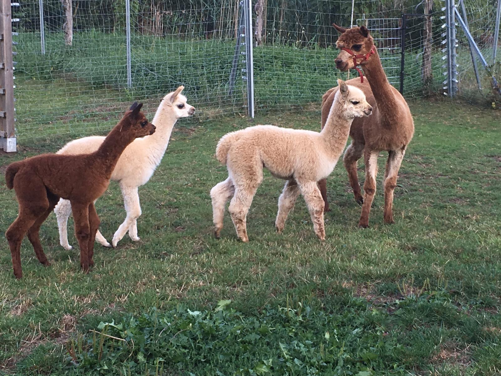 COCO Zuchtstute Alpaka