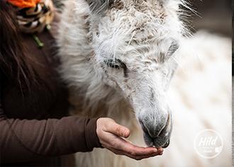 Weiterbildung zum Coach für lama-/alpakagestützte Therapie