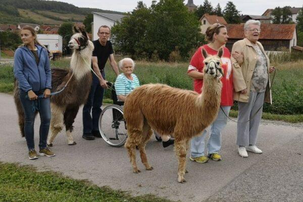 Lamas-Alpaka-Spaziergang-mit-Senioren-Bayern (Medium)