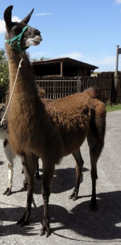 Alarmbereitschaft - Körpersprache der Lamas