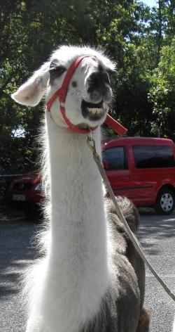 Ohren nach hinten - Körpersprache der Lamas