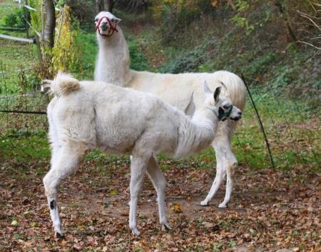 Geste Unterwerfung bei Lamas