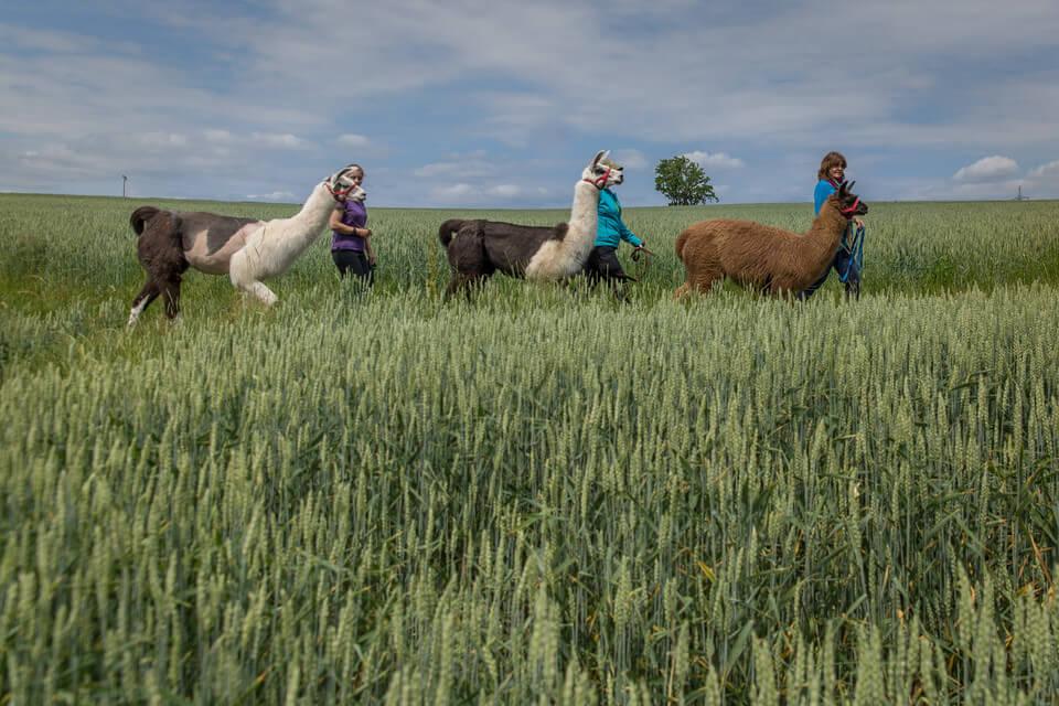 Spaziergang mit Lamas und Alpakas