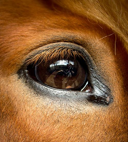 Pferdeauge Tindur